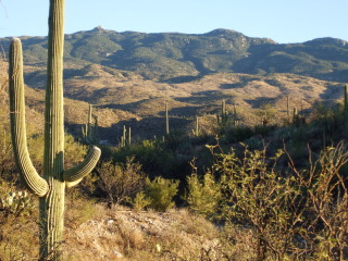 Saguaro cactus on a Tucson, AZ horseback riding vacation