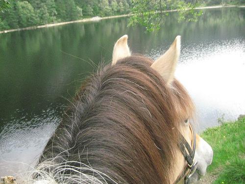 Fjord horse, Ovre-Eide Farm, Bergen, Norway