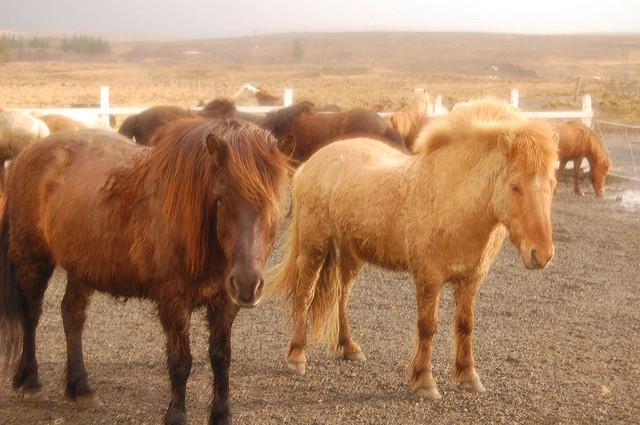 icelancid ponies, icelandic horses, iceland, Laxnes Horse Farm, Reykjavik
