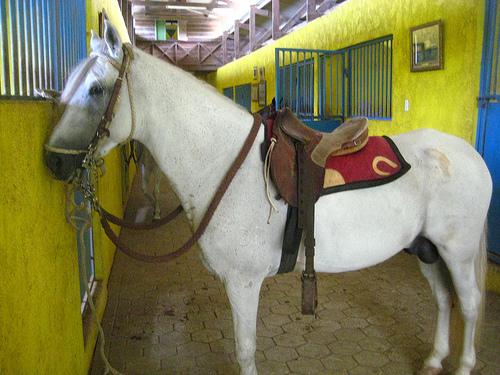 Sanisidro, the Paso Fino Stallion I rode on my Curacao horseback riding vacation