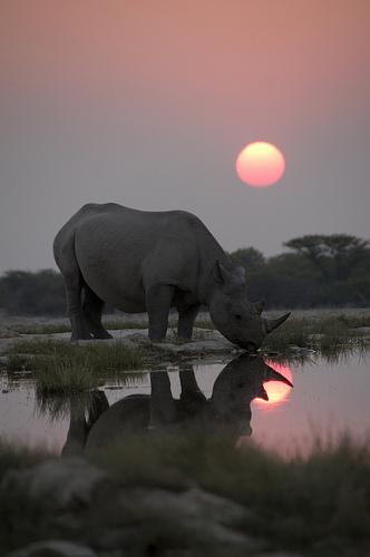"""""""Black Rhino"""""""