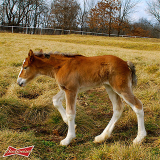 """Budweiser Clydesdale foal"""