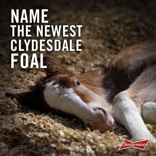 """Clydesdale foal"""