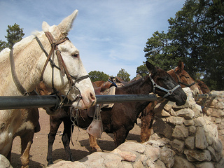 Grand Canyon mules""