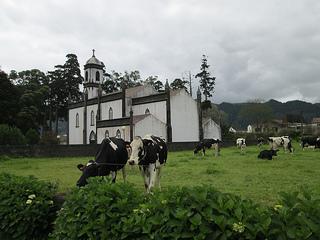 cows São Miguel, Portugal