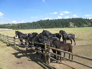"Percheron horses, ""Jackson Fork Ranch"""