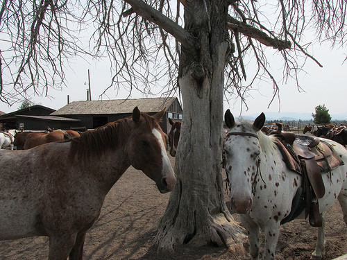 """Sunriver Stables"" horses"