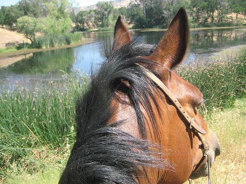 """""""between the ears"""" photo, horse, """"Calaveras county"""""""