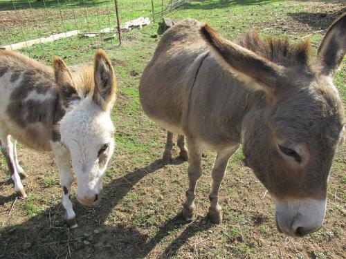 miniature donkey, tollen farm, wilsonville, oregon