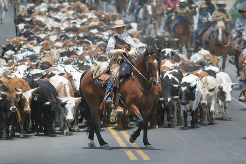 reno cattle drive, reno, nevada, horse, cowgirl, cows, cattle drive