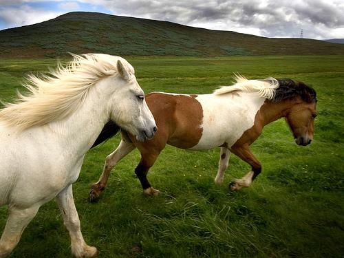 Icelandic Horses Ready for Horseback Riding Vacation
