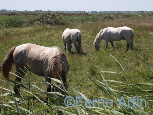Camargue Horses graze during a horseback riding vacation in France
