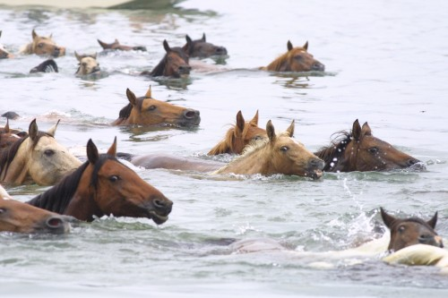 Chincoteague Island horses swim on a horseback riding vacation in Virginia