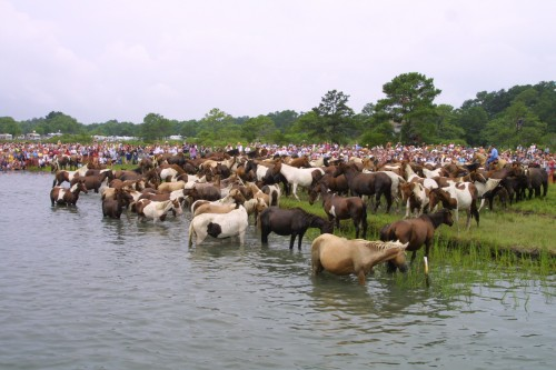 Wild horses rest after swimming to Chincoteague Island, Virginia