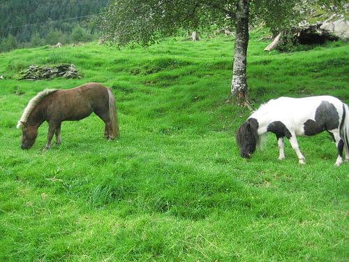 shetland ponies, norway