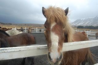 Time to tölt on a horseback riding vacation in Reykjavik, Iceland