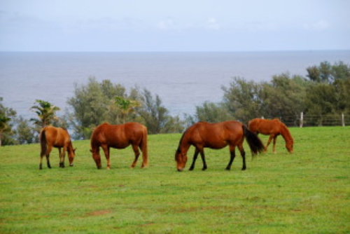 Hawaii Paso Finos Grazing After a Horseback Riding Vacation on Kohala Coast