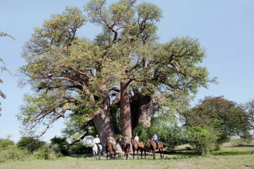 Hanging out under a Baobab Tree on a horseback riding vacation in Botswana, Africa