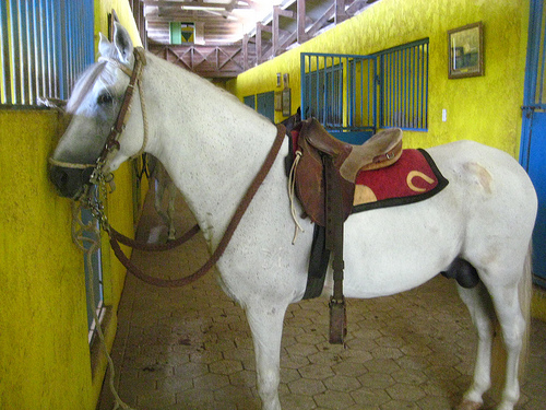 Sanisidro, the Paso Fino Stallion I rode on my Curacao horseback riding vacation