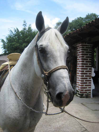 Pavo Rreal dances on your horseback riding vacation at Rancho Capomo