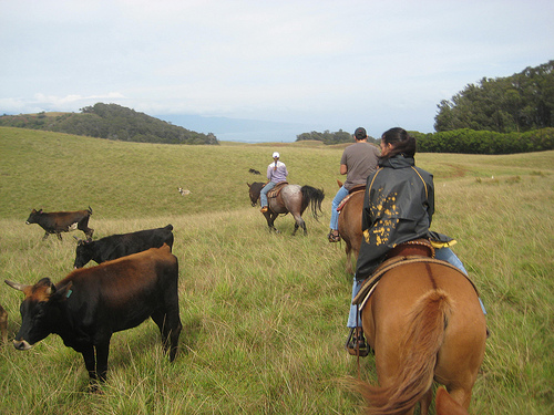 Experience a working cattle ranch on a horseback riding vacation with Piiholo Ranch in Maui, Hawaii