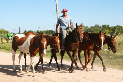 Exercising Capilla polo ponies in Argentina