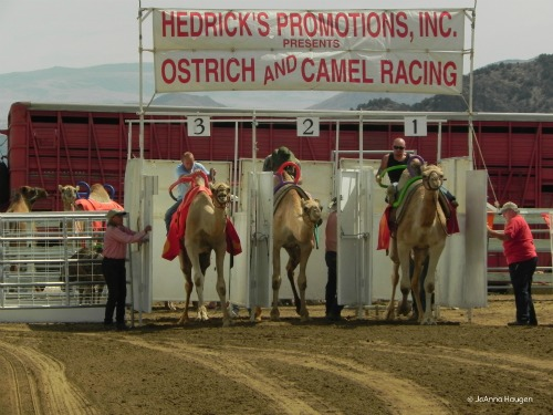 Horses don't play a part in the International Camel Races in Virginia City, Nevada