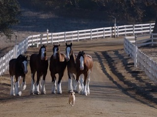 Clydesdales, puppy