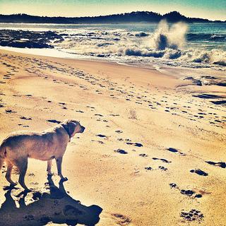 dog, Carmel River State Beach