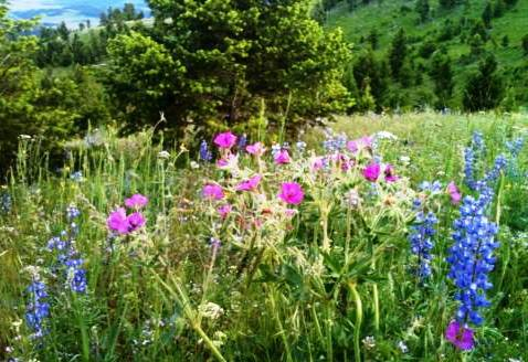 "wild flowers ""Lone Mountain Ranch"" montana"