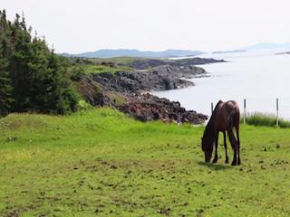Newfoundland pony, pony
