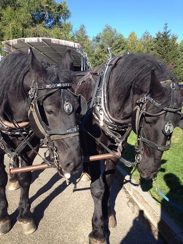 """Percheron horses"", ""Charlevoix"", ""Canada"""