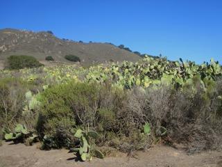 cacti, Cerro San Luis, San Luis Obispo, California