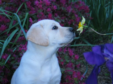 Labrador Retriever, puppy