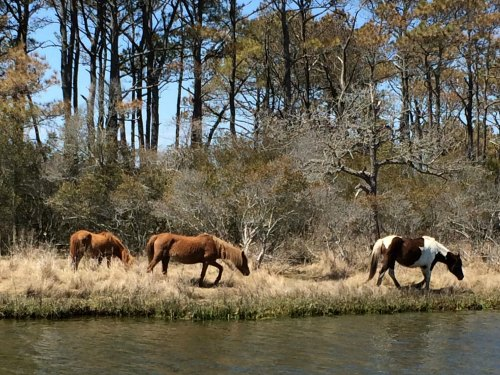 Chincoteague, ponies