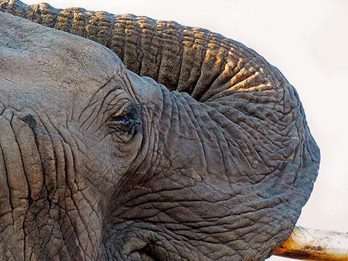 elephant, tusk, aardvark safaris