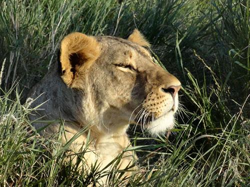 lion, aardvark safaris
