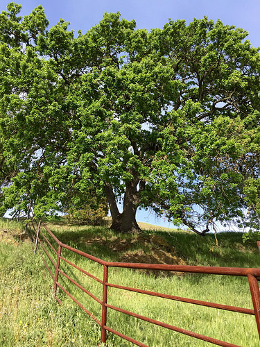 oak tree, heritage oak