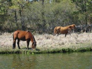 ponies, Virginia