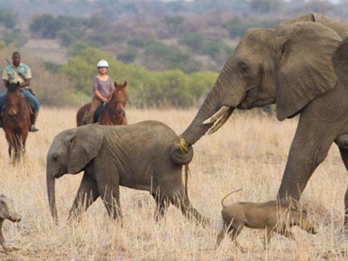 aardvark safaris, elephants