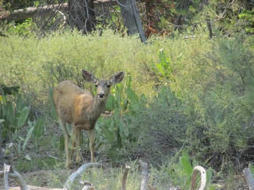 Black-tailed deer, Tahoe National Forest
