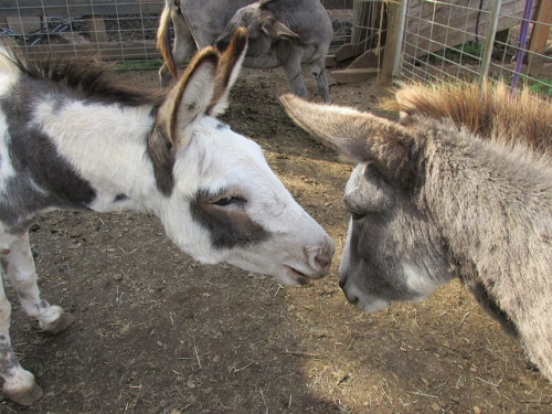 tollen farm, miniature donkey, oregon
