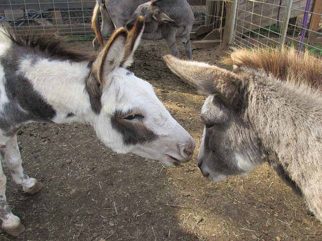 tollen farm, miniature donkey, oregon