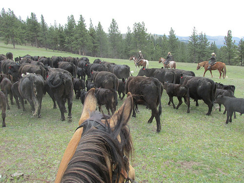 cattle drive, montana cattle drive, horseback riding vacation