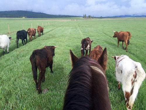 cowgirl spring roundup, the resort at paws up, greenough, montana, cattle drive
