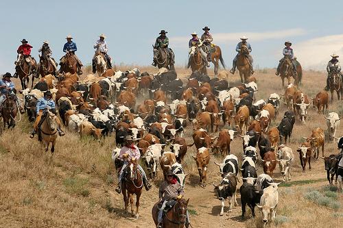 reno cattle drive, cattle, horses, cowboys, reno, nevada