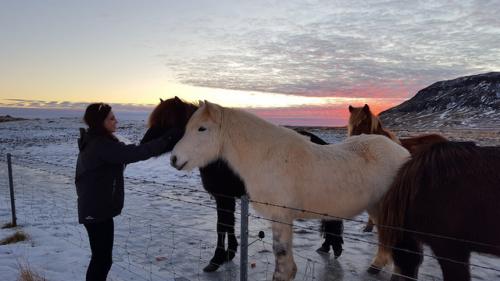 iceland, horses, sunrise, icelandic horse