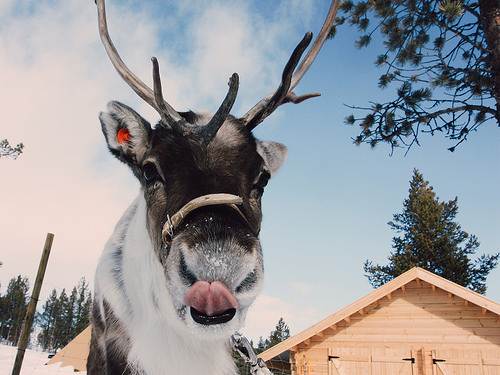 reindeer, lapland, sweden, sami culture