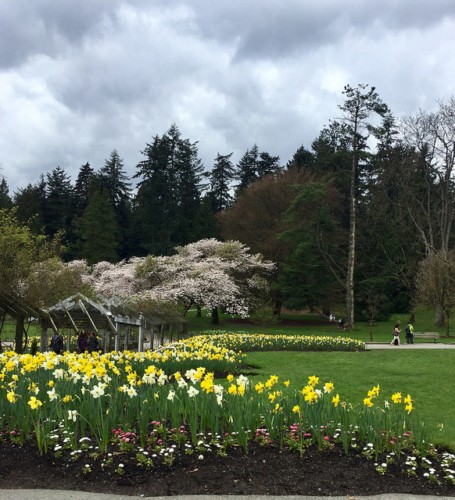 daffodils, flowers, stanley park, vancouver, british columbia, canada