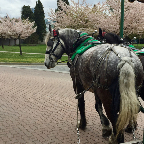 percheron horses, cherry blossoms, stanley park, vancouver, british columbia, canada, horse carriage